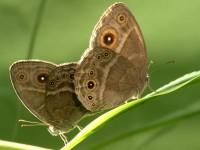 Самки бабочек-нимфалид предпочитают партнеров постарше