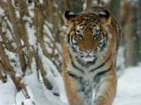Братья Запашные посвятили программу «Мистер Тигр» защите амурского хищника
