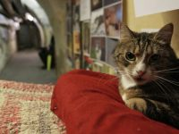 В Петербурге пройдет праздник «День эрмитажного кота»